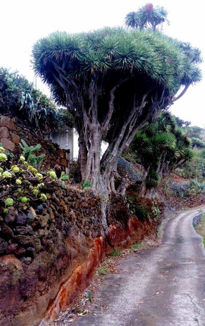 La Tosca. Barlovento (La Palma) Fotos: Javier Díaz Hernández y Horacio Concepción García