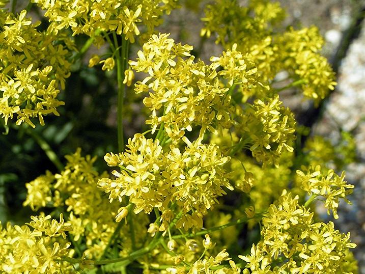 La hierba pastel, Isatis tinctoria